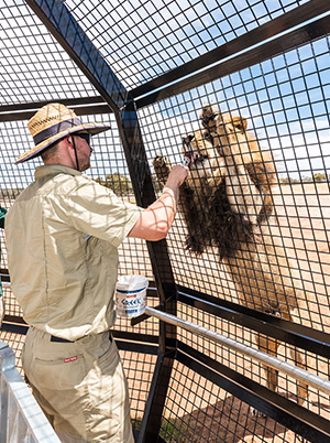 Feeding the Lions at Monarto Zoo 360 Experience